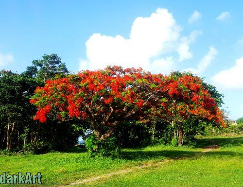 Le Flamboyant ✻ L'arbre qui s'embrase en Période de Carême [Delonix Regia] ✻