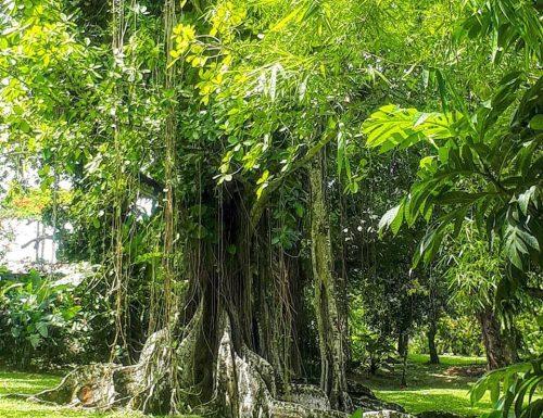 Ficus Citrifolia / Figuiers Étrangleur / Figuier Maudit de Martinique